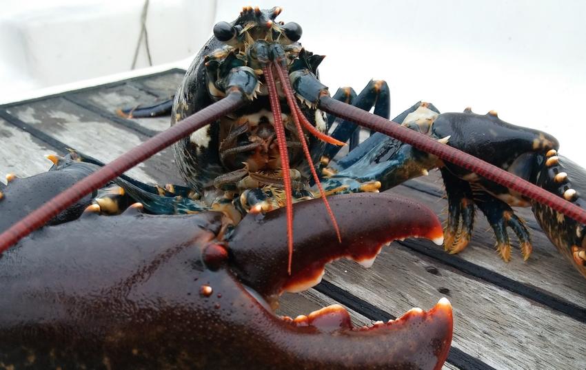 homard pêché